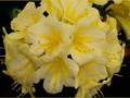 5 Mixed Kloek Yellow Clivia Seeds