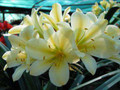 (Lotter Yellow X Cywes Yellow) X Self) Clivia Seedling Plant