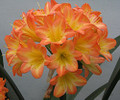 """Roly's Organza X Roly Chiffon Daughter """"Chemise""""  Clivia Seed"""