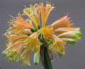 "Interspecific ""Fascination"" X Gem's Flutter Clivia Seedling Plant"