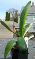 "10"" Tall 6 leave Shima Fu Variegated Clivia Plant #260"