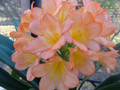 Intimate Pink X Self  Clivia Seed