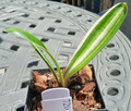 "4 1/2"" tall 3 Leaf Variegated  Shima-Fu Clivia Plant #720 (Exquisite Color)"
