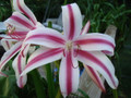 Crinum Stars and Stripes flowers