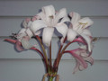 Crinum Peachblow Flowers from Bulb Offered