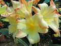 Bicolor X Mississippi Massive Picotee Clivia Seedling Plant