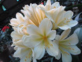 (Golden Fleece X Hirao) X Fairytale Clivia Seedling Plant