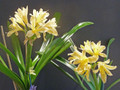 8 to 10 leaf  Yellow Clivia plants, Solomone Strain