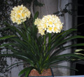 Longwood Fireworks Adult Flowered Clivia Plant