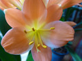 Painted Lady 7 Leaf Adult Bloomed Clivia Plant