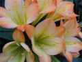 1 Seedling  from Paul Kloeks Green Throated Clivia