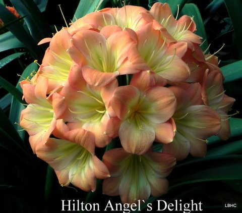 Angel's Delight