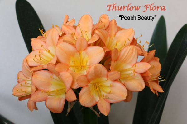 Peach Beauty