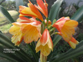 Flintstone X Knockout Versicolour Interspecifics Clivia Seed