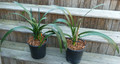 """Tersurus"" South African 8 Leaf  Offset Clivia Plant Appleblossom Cross"