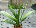 "7 7/8"" Tall 7 leaf   "" Great Victory"" Shima Fu Variegated Clivia Plant #893"