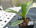 Copy of 5 1/4  4  leaf  Shima Fu Variegated Clivia Plant #920