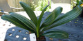 "7 1/2"" 9  leaf Dwarf Almost adult Shima Fu Variegated Clivia Plant #967"