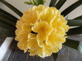 The Rock X Self Deep Yellow Clivia Seed