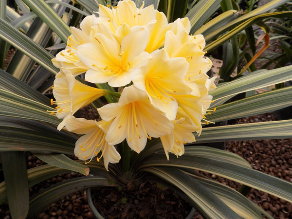 Variegated Yellow