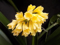 Yellow Interspecific Angel Bells X Self  Clivia Seed