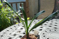 986 brodest plant we have had in a window sill sized plant