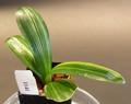 Copy of 6 1/8 tall 4  leaf Shima Fu   Variegated   Clivia Plant #1141