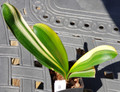 """10  inch tall 4  leaf """"Genpei"""" Style Duck Variegated   Clivia Plant #1153"""