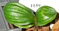 "Strongly Veined 3 Leaf  2.75"" Tall HenglanXSparrow Miniature Clivia #1159"
