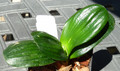 "5 Leaf 3"" Tall HenglanXSparrow Miniature Clivia #1175 Nice veins"
