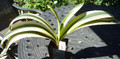 10.5 inch tall 7 leaf Fukerin  Variegated   Clivia Plant #1173