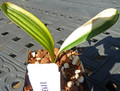 3.75  inch tall 2 leaf Duck Variegated   Clivia Plant #1193