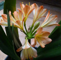 ID Flor Florid White Lips Adult Flowered Clivia Plant Offset #2