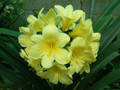 Clivia USA Yellow Seedling Mix