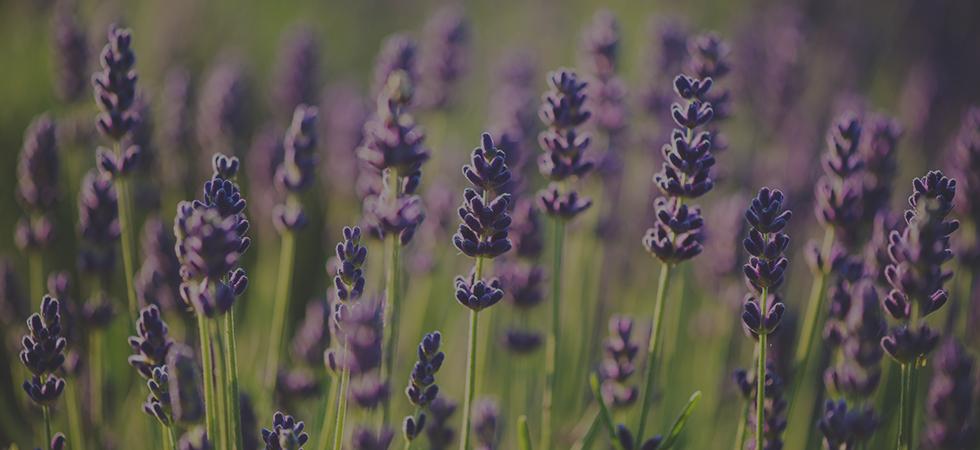lavendermay2016-copy.jpg