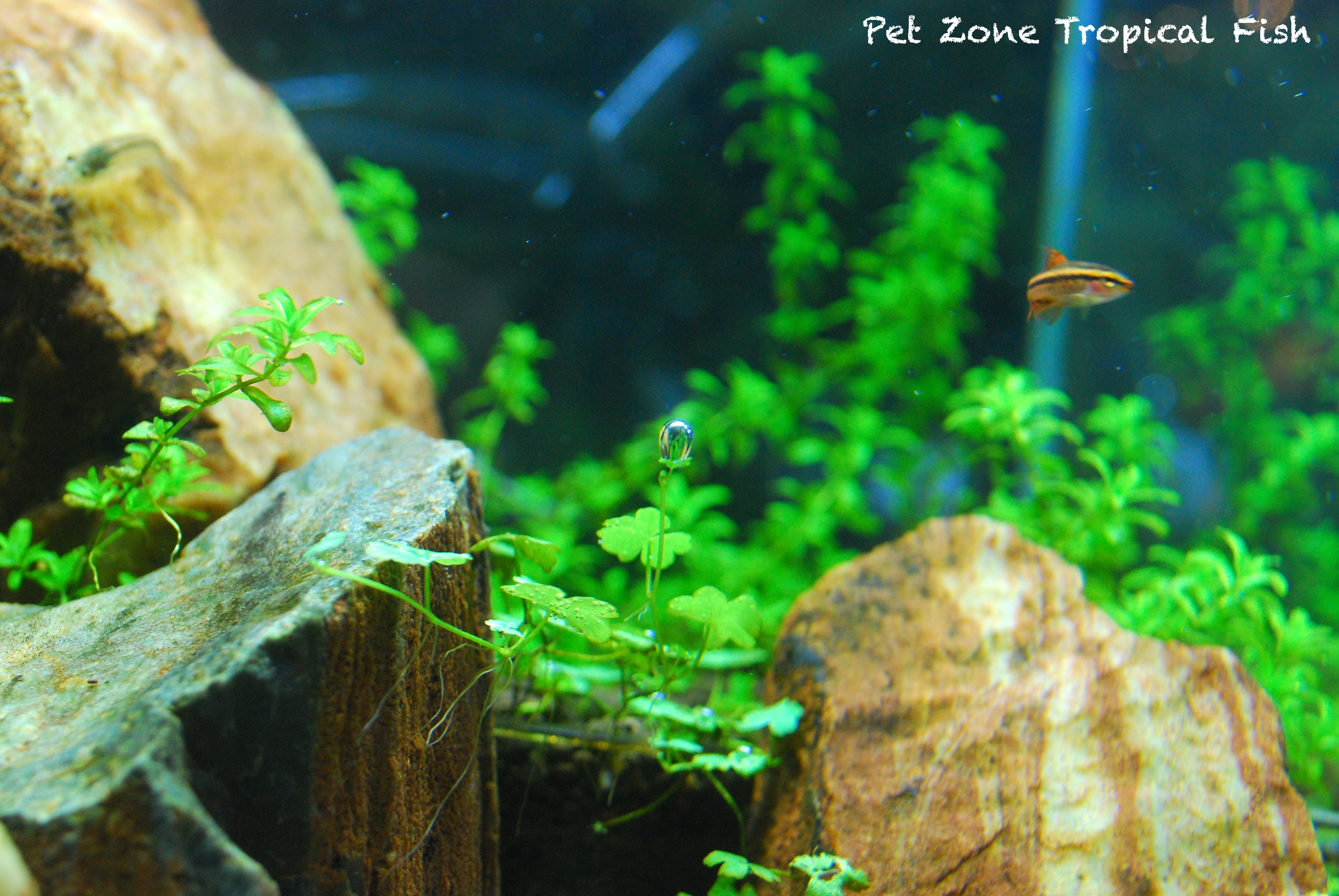 ADA 30C Rimless tank with Tripartita, Pearlweed & Redwood Stones