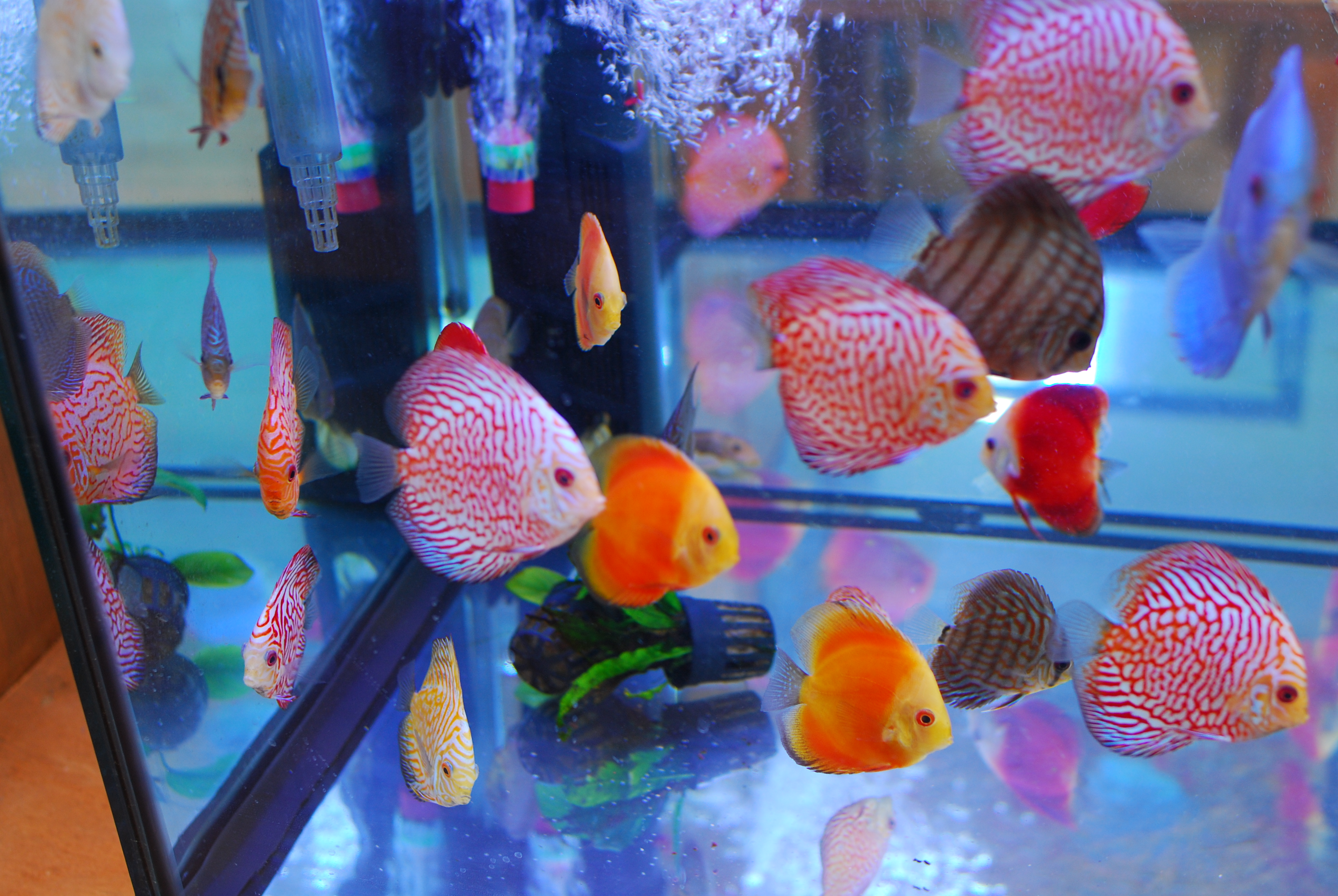 New discus fish in stock pet zone tropical fish san for Live discus fish for sale