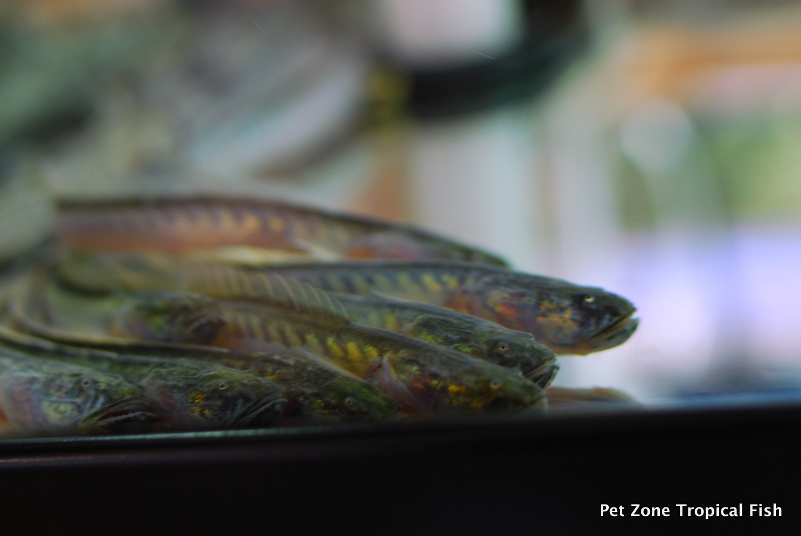 Newly arrived stock of south american fish pet zone for Dragon fish goby