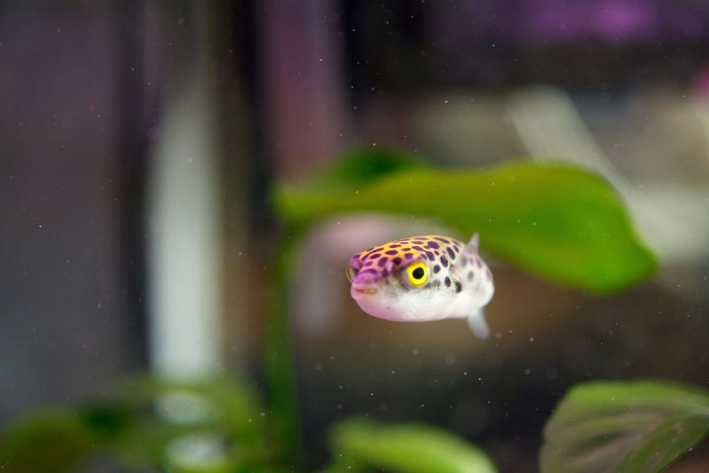 Caring For Green Spotted Puffer Fish Gsp Pet Zone Tropical Fish San Diego California