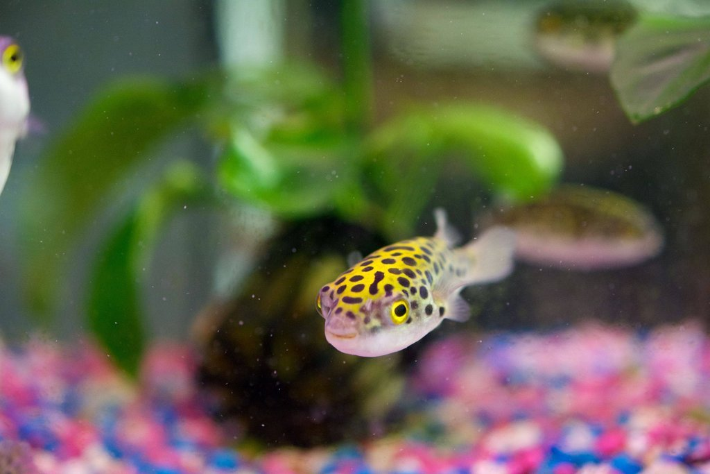 caring for green spotted puffer fish gsp pet zone