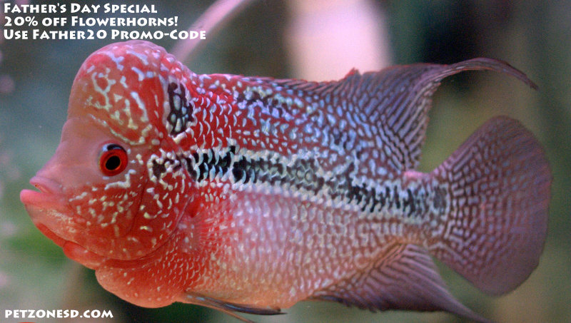 Father 39 s day flowerhorn sale pet zone tropical fish for Flower horn fish price