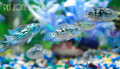 Electric Blue Jack Dempsey (EBJD)