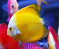 Yellow Melon Discus