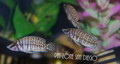 Calvus Cichlid (Altolamprologus calvus)