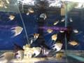 Angelfish - Pterophyllum scalare