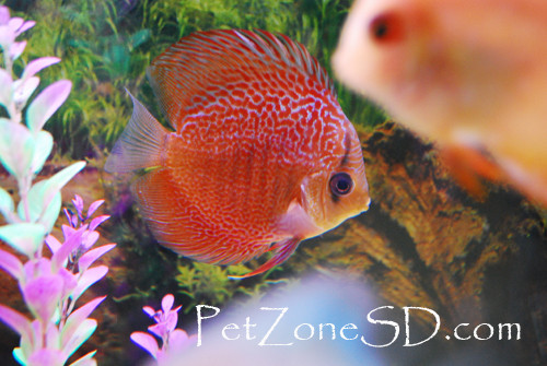 A guide to keeping discus fish pet zone tropical fish for Keeping discus fish