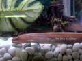 Freshwater Snowflake Moray Eel (Gymnothorax tile)