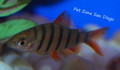 Six-Banded Distichodus Fry - Distichodus sexfasciatus