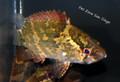 Asian Leaf Fish