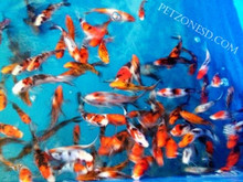 Koi fish for freshwater garden ponds koi fish for Koi fish living conditions
